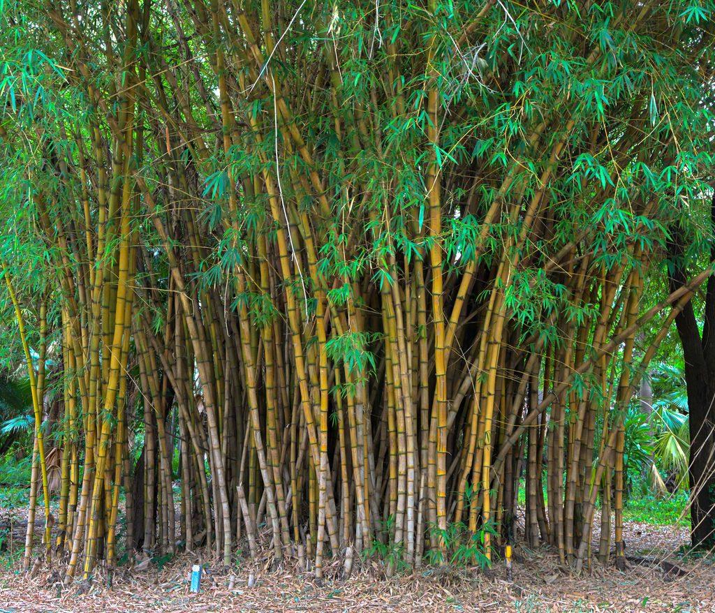 bamboo-1024x878